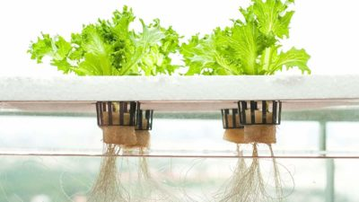 Hydroponics The Future of Farming